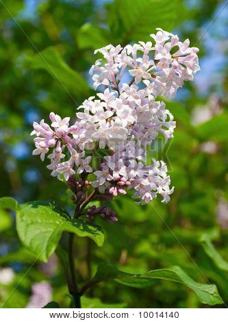 Blooming Lilac On Blue Sky