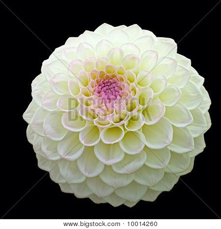 White Pom Pom Dahlia Bloom With Purple Centre, Isolated On A Black Background