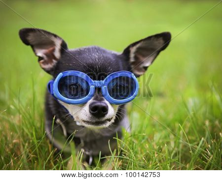 a cute chihuahua wearing goggles and sitting outside in the grass during summer time