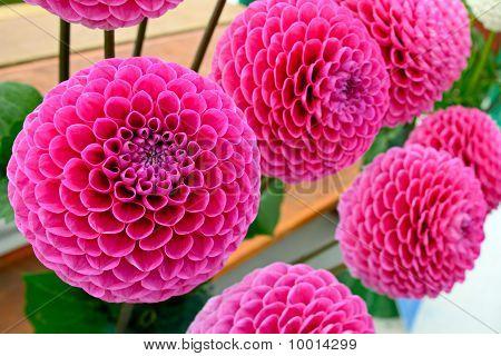 Large Pink Pompom Dahlias (