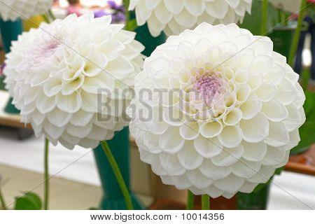 White Pom Pom Dahlias With Purple Centres