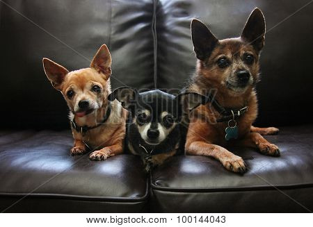 three chihuahuas on a couch with a moody tone