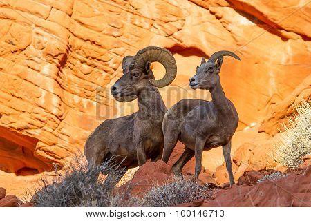 Desert Big Horn Sheep On Red Rock