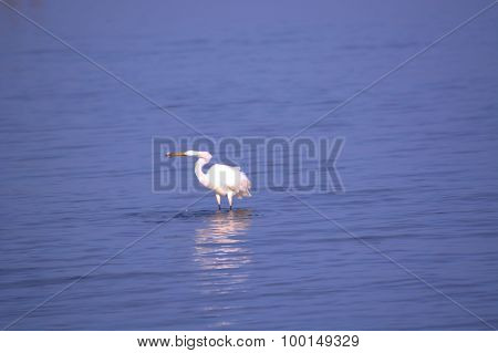 Great White Egret Eating Fish