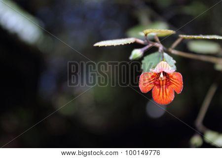 New Zealand Gloxinia