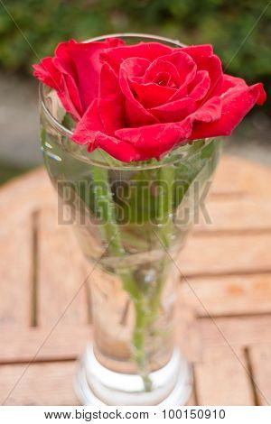 Beautiful Red Rose In Home Garden