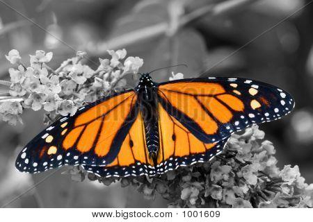 Brilliant Butterfly On B&W