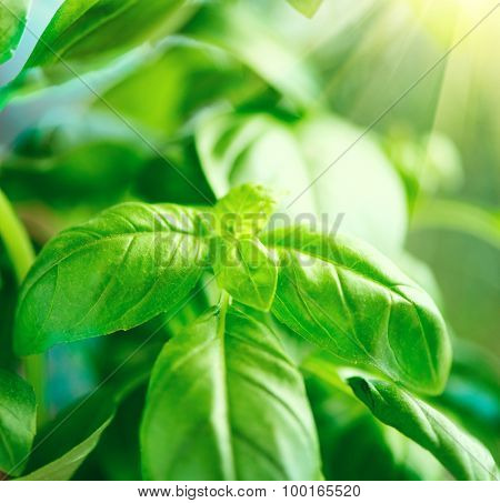 Close-up of fresh basil leaves. Green flavoring outdoor. Fresh Basil growing in garden. Nature healthy Basil over Blurred Background with Sunbeams. Condiment concept
