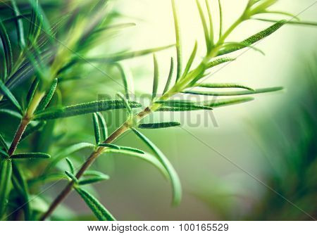 Fresh Rosemary Herb grow outdoor. Rosemary leaves Close-up. Fresh Organic flavoring plants growing. Seasonings, Nature healthy flavoring, cooking. Ingredients for food