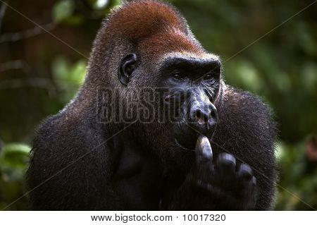 Male Of Western Lowland Gorilla