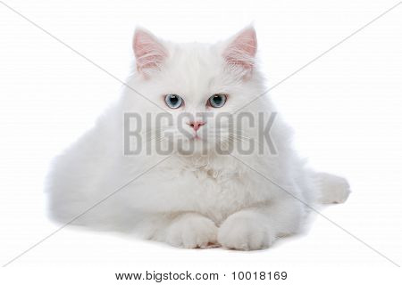 Two White Cats With Blue And Yellow Eyes