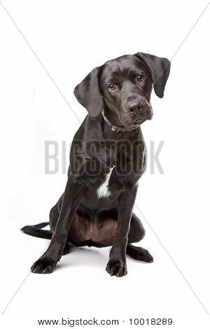 Mixed Breed Lab Cross