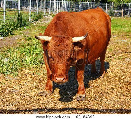 mini cow Dexter