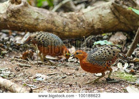 Ferruginous Partridge(caloperdix Oculea)
