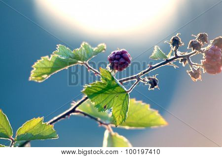 picture of a Blackberries Growing Bush on Morning Light