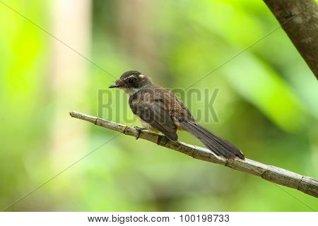 Malaysian Pied Fantail(rhipidura Javanica) In Nature