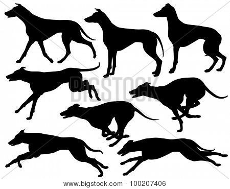 Set of illustrated silhouettes of greyhound dogs running, standing and trotting