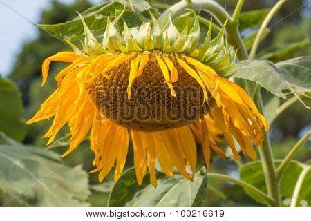 Close-Up of Wilting Sunflower