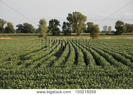 Wisconsin Soybean Field Rows