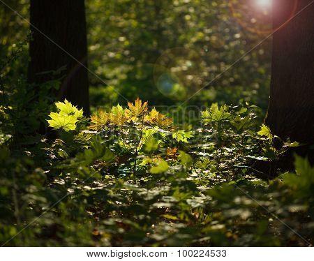 Sunlight In Forest Undergrowth