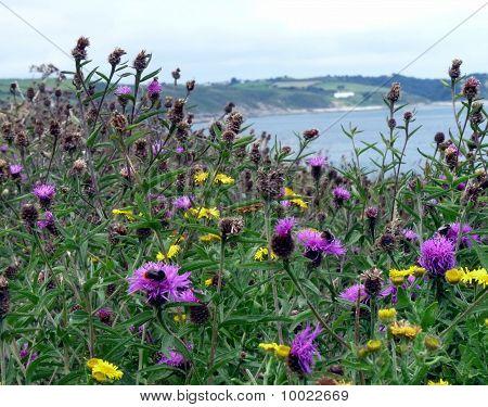 Wild flowers on Cornish coast