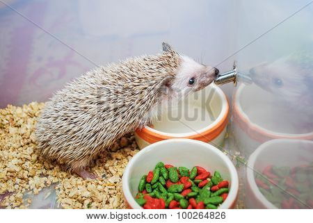 Cute Brown Hedgehog Drinking Water