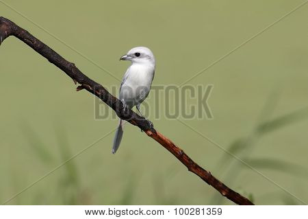 Brown Shrike Leucism Lanius Cristatus Color Aberration