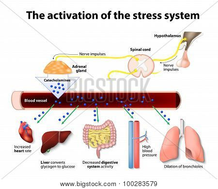 Activation of the stress system. Human anatome poster