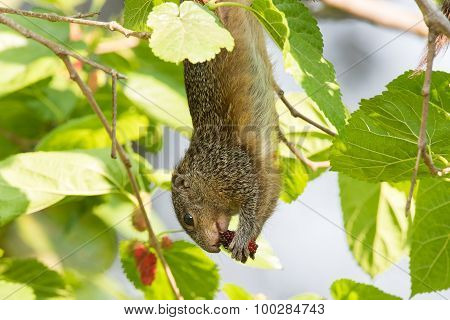 Smith's Bush Squirrel (paraxerus Cepapi) Hanging Upside Down Eating A Berry