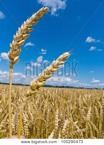 ears of barley in a field of grain a farmer in the summer.
