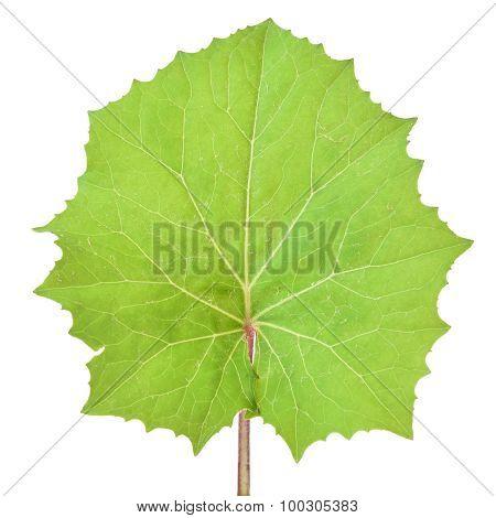 Tussilago Farfara Leaf