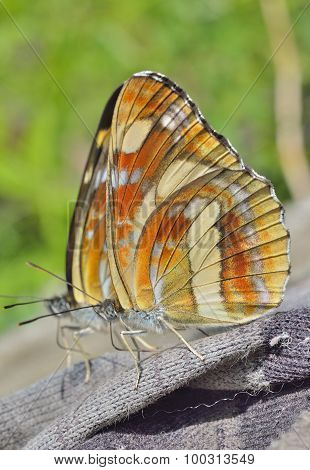Butterfly (neptis Thisbe)
