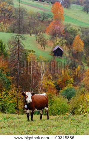 Brown cow with a bell in the mountain village