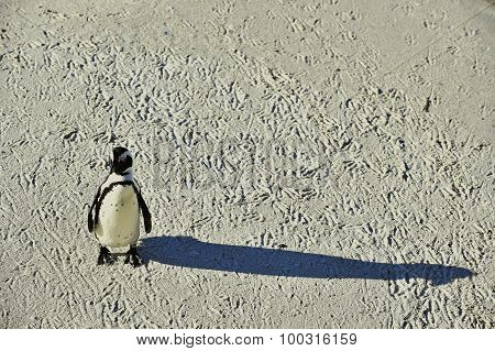 African Penguin And Shadow.