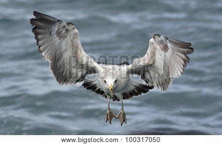 Flying Kelp Gull (larus Dominicanus)