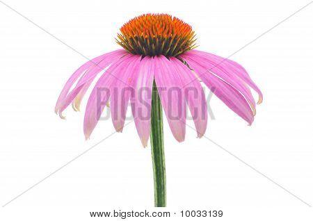 Purple Coneflower-echinacea