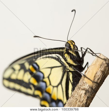 Swallowtail Butterfly Closeup
