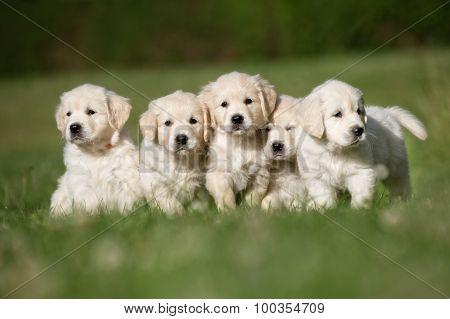 Litter Of Five Golden Retriever Puppies