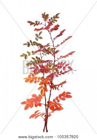 Two branches with colorful autumn leaves (Rose) isolated on white