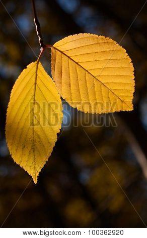 Birch autumn foliage