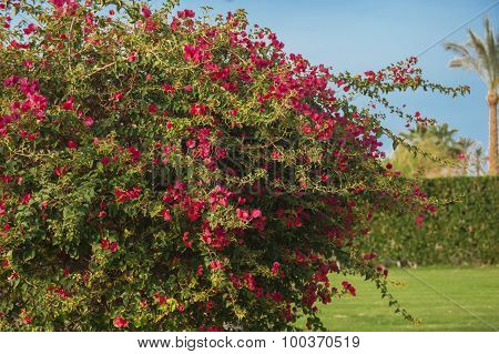 branches of flowers red bougainvillea in garden poster