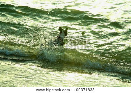 bulldog swiming