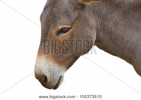 Close up of donkey head isolated on a white background