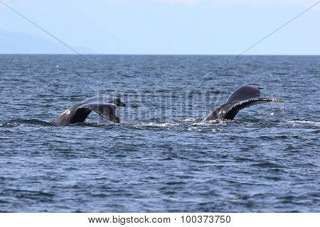 Two Humpback Whale Flukes