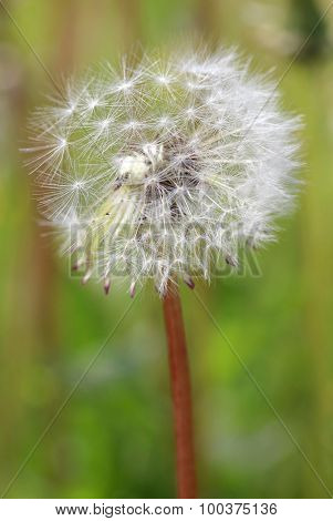 Dandelion on a tall stalk on a background of green field
