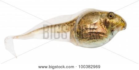 One Tadpole Of Frog Close Up Isolated
