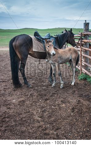 Horses In The Buryat Village, Olkhon, Lake Baikal, Russia