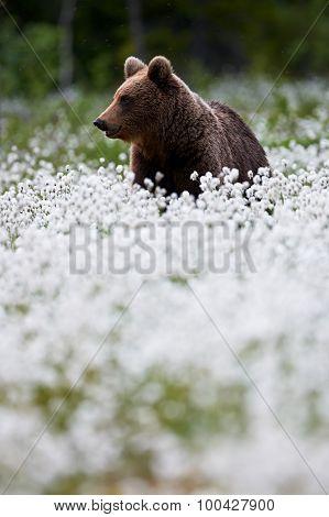 Brown Bear Between Cotton Grass