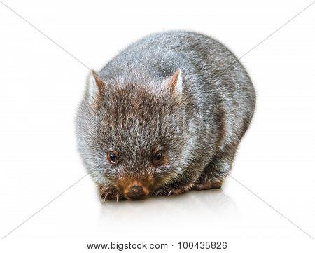 Little Wombat Australia