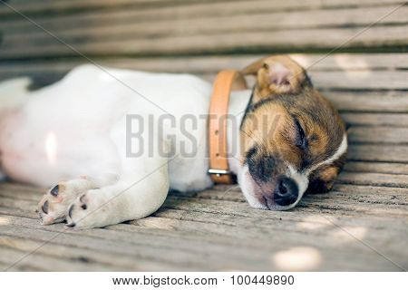 Young Sleeping Puppy Dog